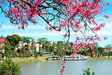 Dalat to be beautified with 600,000 cherry trees